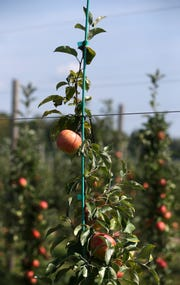 Premier Honeycrisp apples are a new early ripening variety.