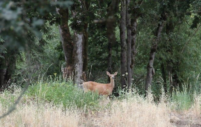 A deer is seen at Turner Park.