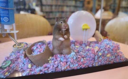 Jasmine the hamster in her cage at the Orangeburg library on Wednesday, August 29, 2018.