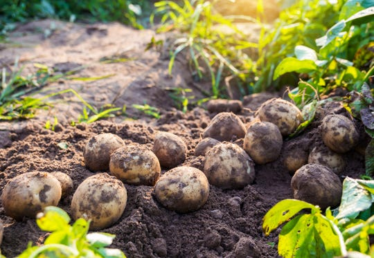 Michigan-grown potatoes are key to Better Made Snack Foods' recipe for success.