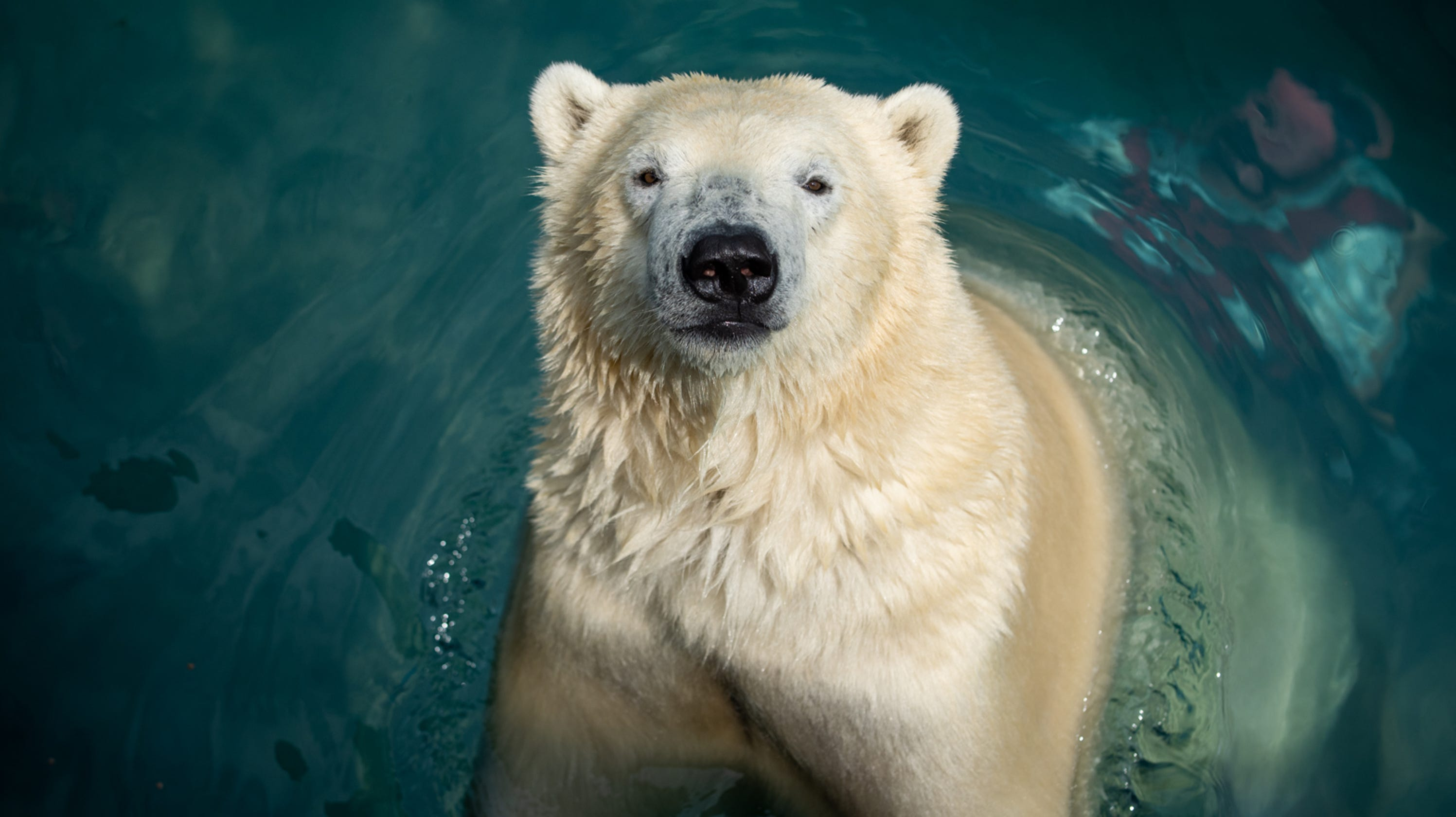 3 Polar Bears To Move From Columbus Zoo