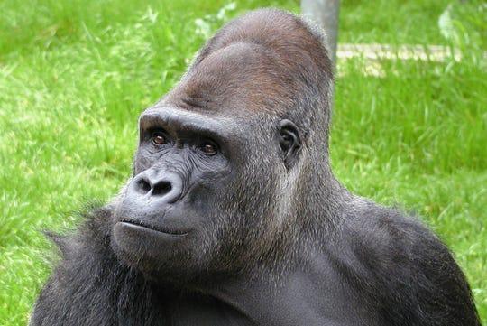 Ndume the gorilla
