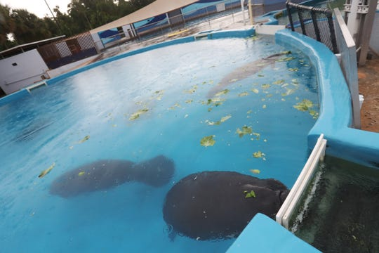 Manatees from Southwest Florida recover at Sea World in Orlando on Wednesday 8/29/2018. They came to the facility with the effects of red tide poisoning. They will eventually be released back to the wild.