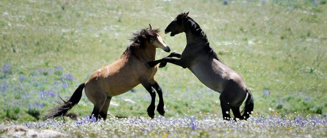 FILE - In this July 7, 2009 file photo, Pryor Mountain wild stallions playfully fight in Bridger, Mont.