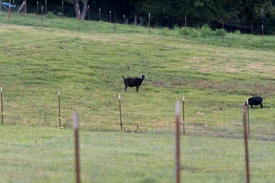 Goats graze in a field on Steve Walker's property in Mascot, Tennessee on Wednesday, August 29, 2018.