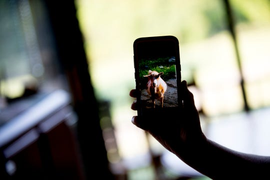 Pam Walker holds a photo of one of the goats, Gertie, on her phone at the Walkers' home in Mascot, Tennessee on Wednesday, August 29, 2018.