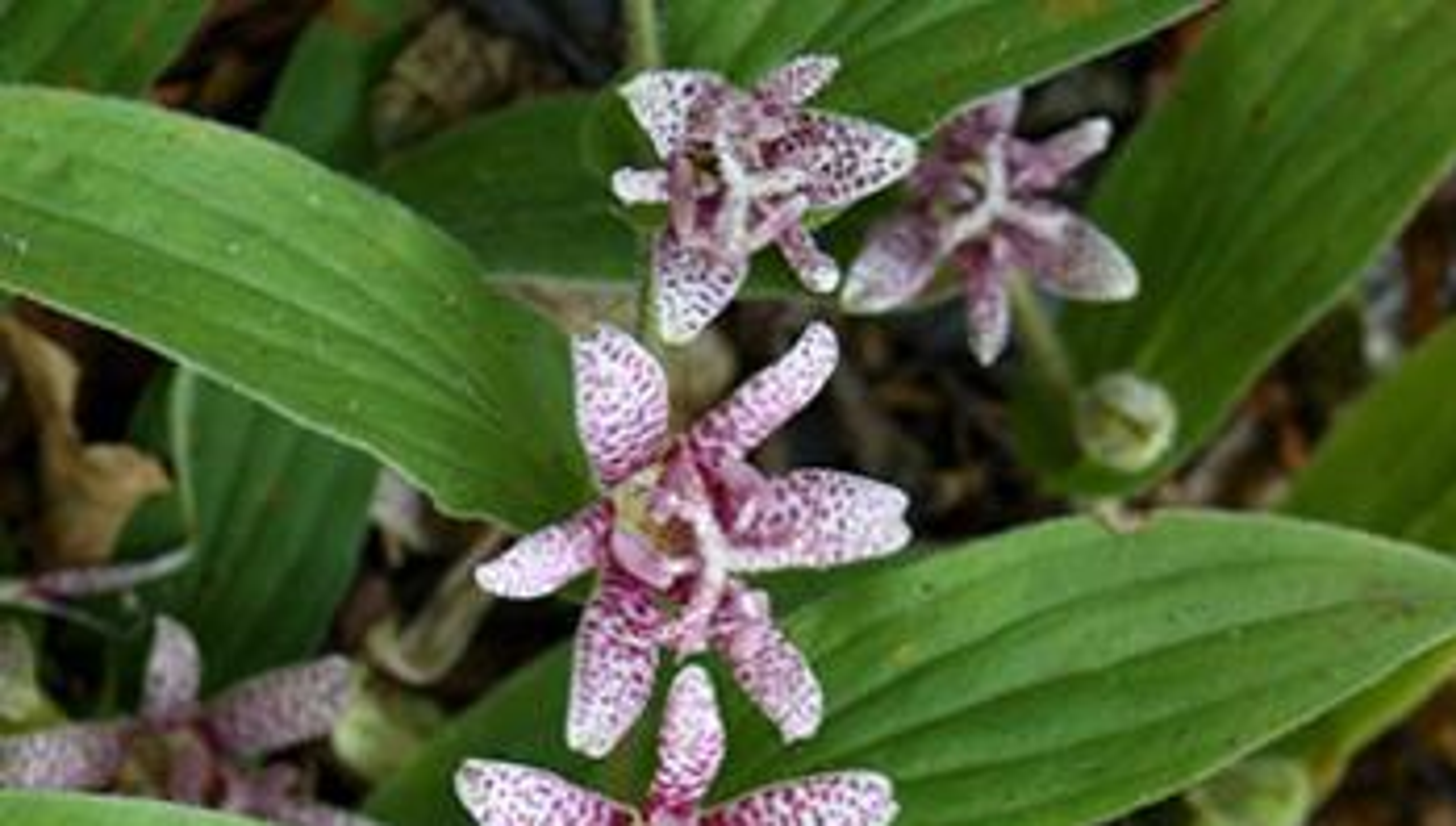 Toad lilies are a perfect plant to save your garden izmirmasajfo