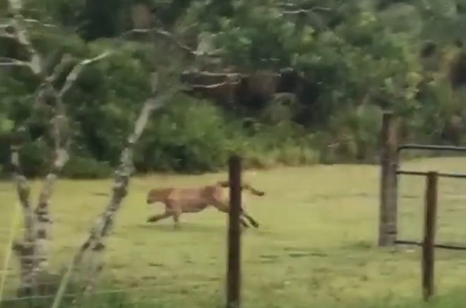 Jenn Cooper, of Golden Gate Estates, spotted a panther in her backyard, took video and shared it via Facebook Monday, Aug. 27, 2018.