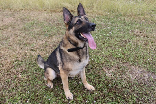Blitz is an adopted K-9, who retired from the Naples Police Department, according Blitz's owner Jenn Cooper.