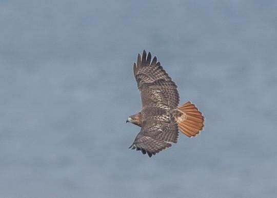 A migrating red-tailed hawk soars part State Line Lookout in Alpine.