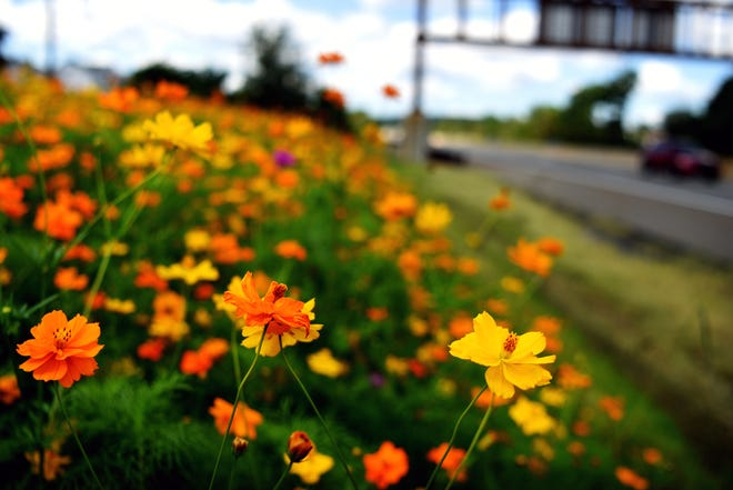 Orange wildflowers line the side of the Garden State Parkway on the northbound side of the road near mile marker 157.6 in Clifton on Thursday, August 30, 2018.