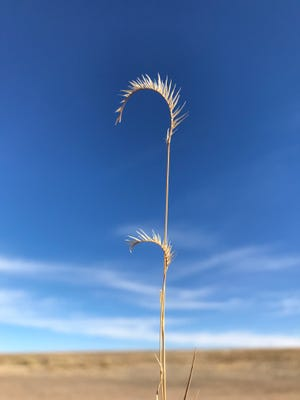Blue grama (Bouteloua gracilis), the state grass of New Mexico, photographed in November 2017 near Carson National Forest.