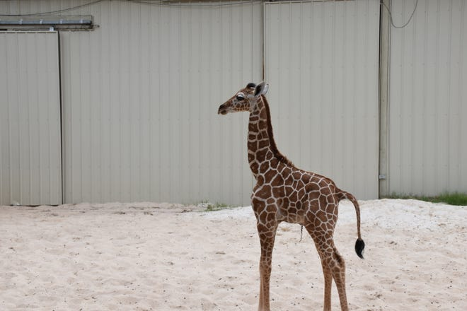 Gus, a 1-month old giraffe, hangs out in his yard at the Gulf Breeze Zoo on Thursday, Aug. 30, 2018. Gus was born at the zoo on July 24.