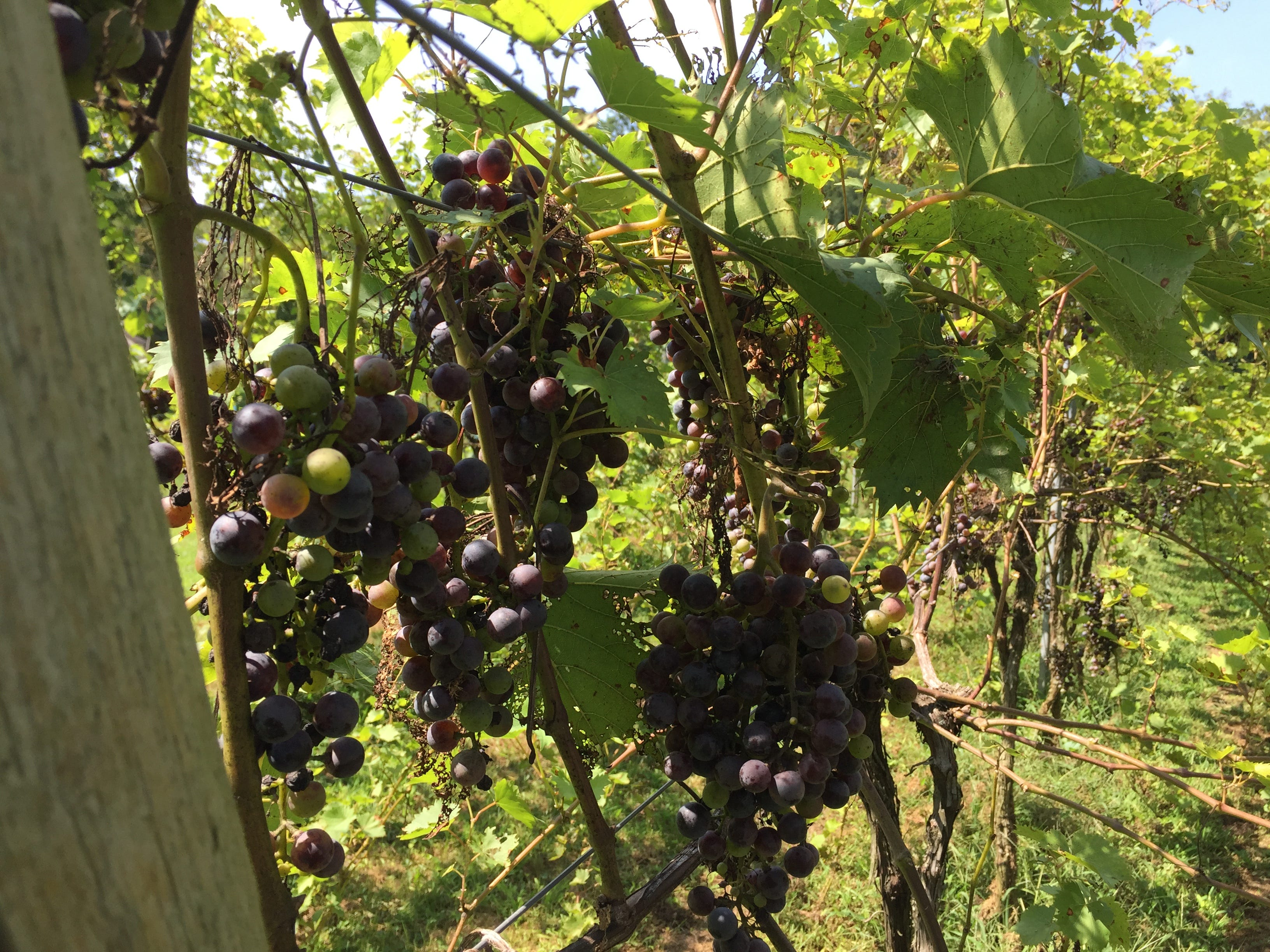 Grapes on the vine at Royal Oaks Vineyard & Winery located at 399 Royal Road, Aug. 29, 2018. The winery has remained open despite an ongoing legal battle over zoning issues between Bill Hartmann, the winery's owner, and North Cornwall Township.