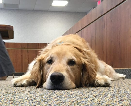 Bruin rests in an empty courtroom Thursday. He is being used by the St. Clair County Prosecutor's Victims Rights office to comfort victims.