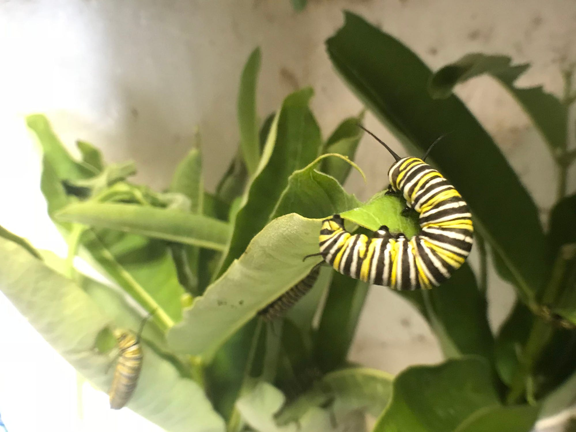 Caterpillars feed on plants. Vonnie Black has raised and released monarch butterflies in her Chambersburg area garage for 20 years.