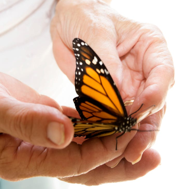 Vonnie Black, who has raised and released monarch butterflies in her Chambersburg area garage for 20 years, holds a butterfly in her hands.