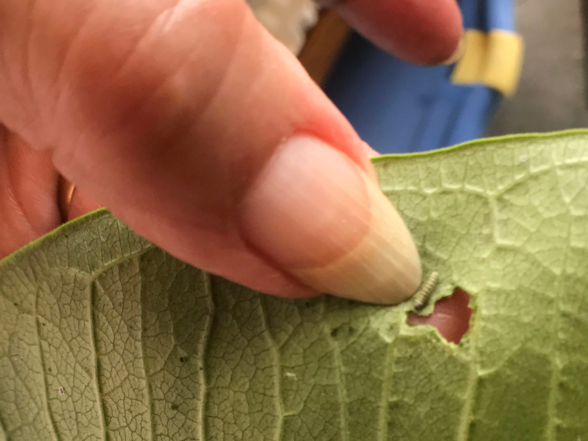 Vonnie Black's thumbnail dwarfs a newly hatched Monarch caterpillar. She has raised and released monarch butterflies for 20 years.
