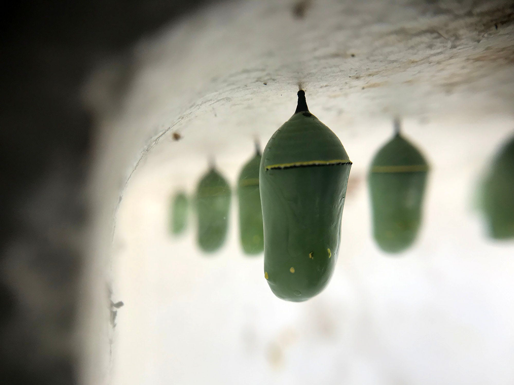 Chrysalis hang in a home before they emerge as caterpillars. Vonnie Black has raised and released monarch butterflies in her Chambersburg area garage for 20 years.