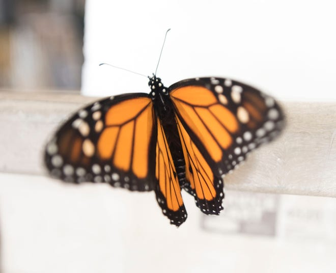 Vonnie Black has raised and released monarch butterflies in her Chambersburg area garage for 20 years.