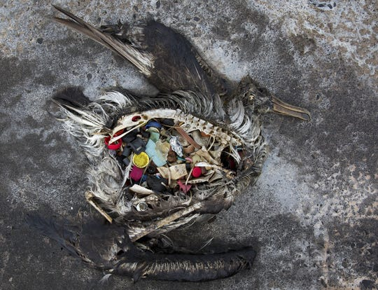 A black-footed albatross chick with plastics in its stomach lies dead on Midway Atoll in the Northwestern Hawaiian Islands in 2014. (Dan Clark/USFWS via AP)