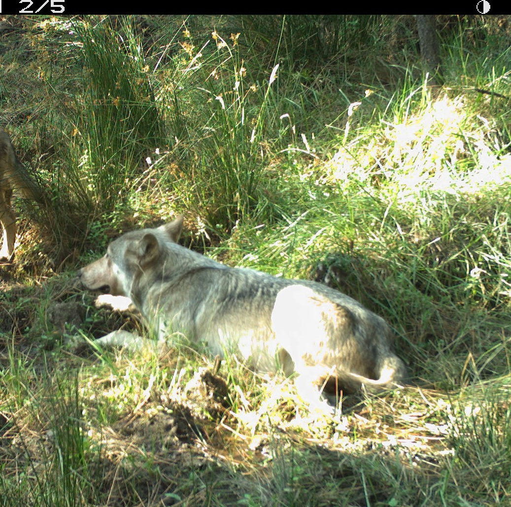 Wolf pups born to pack south of Mt Hood in the Cascade Range