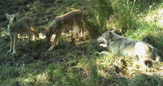 Whiteriv Pups Male 8 19 18confederatedtribes