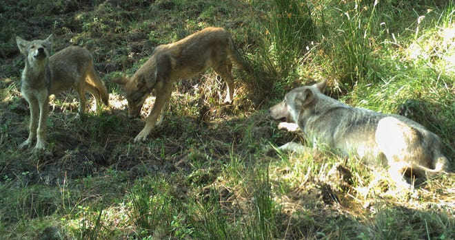 Pups with a breeding male seen in a photo taken by a remote camera on the Warm Springs Indian Reservation.