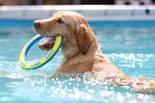 Zoie, a yellow Labrador, retrieves her training bumper during the X-Treme Air Dogs Open Dock Diving Competition at the Oregon State Fair in Salem on Thursday, Aug. 30, 2018.