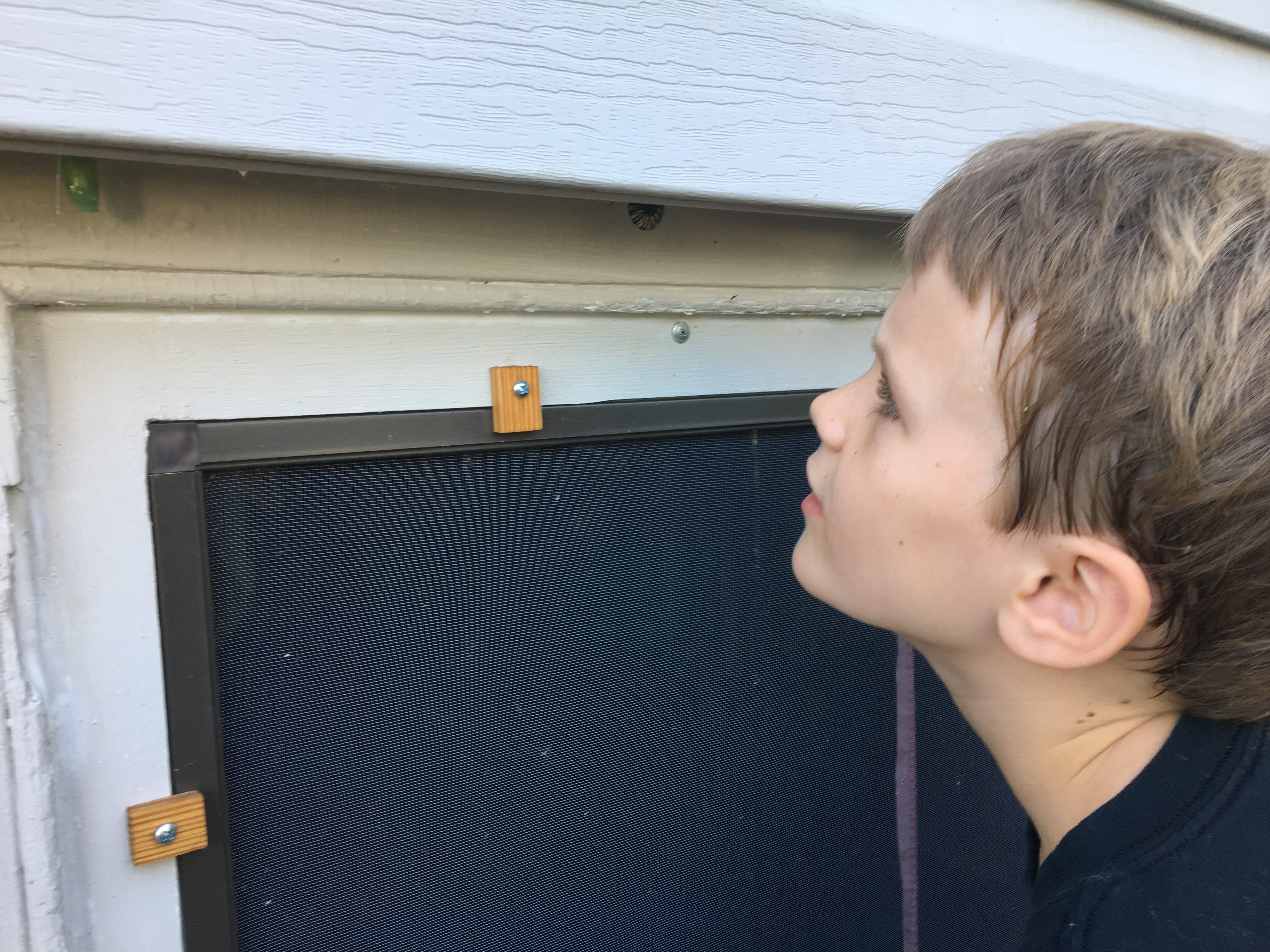 "Photograph taken on Wednesday, Aug. 29, 2018 of Abel Bergland looking at a monarch caterpillar and chrysalis hanging from his home.  ""They hang upside down, form a J shape and form a specialized protective case around them while the inside of their bodies transform into a butterfly,"" explains his dad Alan Bergland, an evolutionary biologist at UVA."