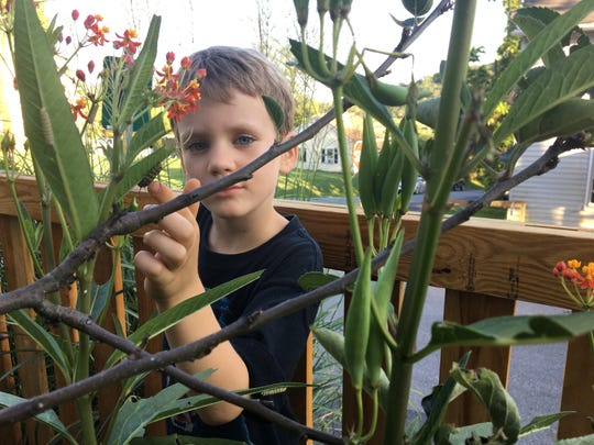 Photograph taken on Wednesday, Aug. 29, 2018 of Abel Bergland counting the number of caterpillars he sees in his milkweed patch at his home in Staunton. Since planting milkweed, the Bergland family's yard is filled with monarch butterflies, caterpillars and chrysalises.