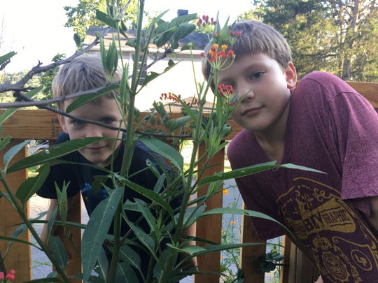 Since planting milkweed, the Bergland family's yard is filled with monarch butterflies, caterpillars and chrysalises. Photograph taken on Wednesday, Aug. 29, 2018, of Abel and Langston Bergland peeking through their milkweed patch.