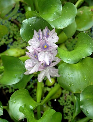 The beautiful flower of water hyacinth (Eichornia crassipes) caused its original introduction. Let it be a reminder to properly dispose of any aquarium or water garden plants.