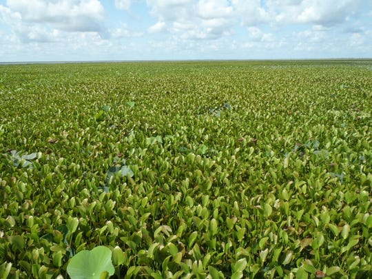 Water hyacinth on the St. John's River caused the creation one of the oldest invasive plant control programs in the nation.