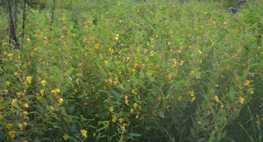 The bright yellow blooms of Partridge Pea provide a last season smorgasbord for insect, birds and other animals. The prolific flowering is a sign of summers ending.