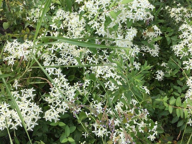 Sweet autumn clematis is a perennial vine.