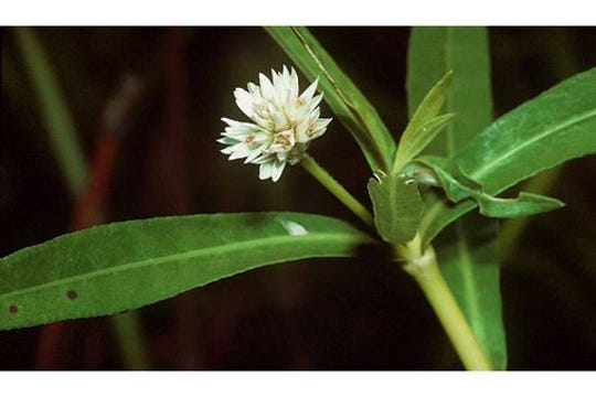 Alligator weed (Alternanthera philoxeroides) has round, hollow stems and white, papery flowers.