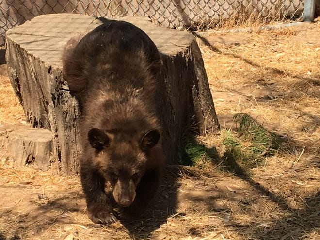 A black bear cub rescued in Ojai wanders around his new outdoor habitat at a wildlife center in Ramona.
