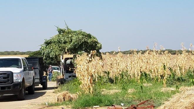 Deputies found a marijuana garden hidden in a Terra Bella cornfield.