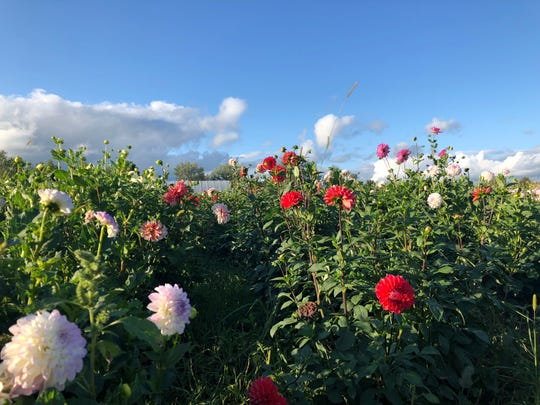 Flowers wait for picking at the Lee family farm in Wausau