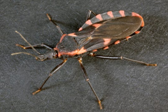 "Triatomines, commonly known as the ""kissing bug,"" could possibly be in Delaware, Centers for Disease Control and Prevention officials say."