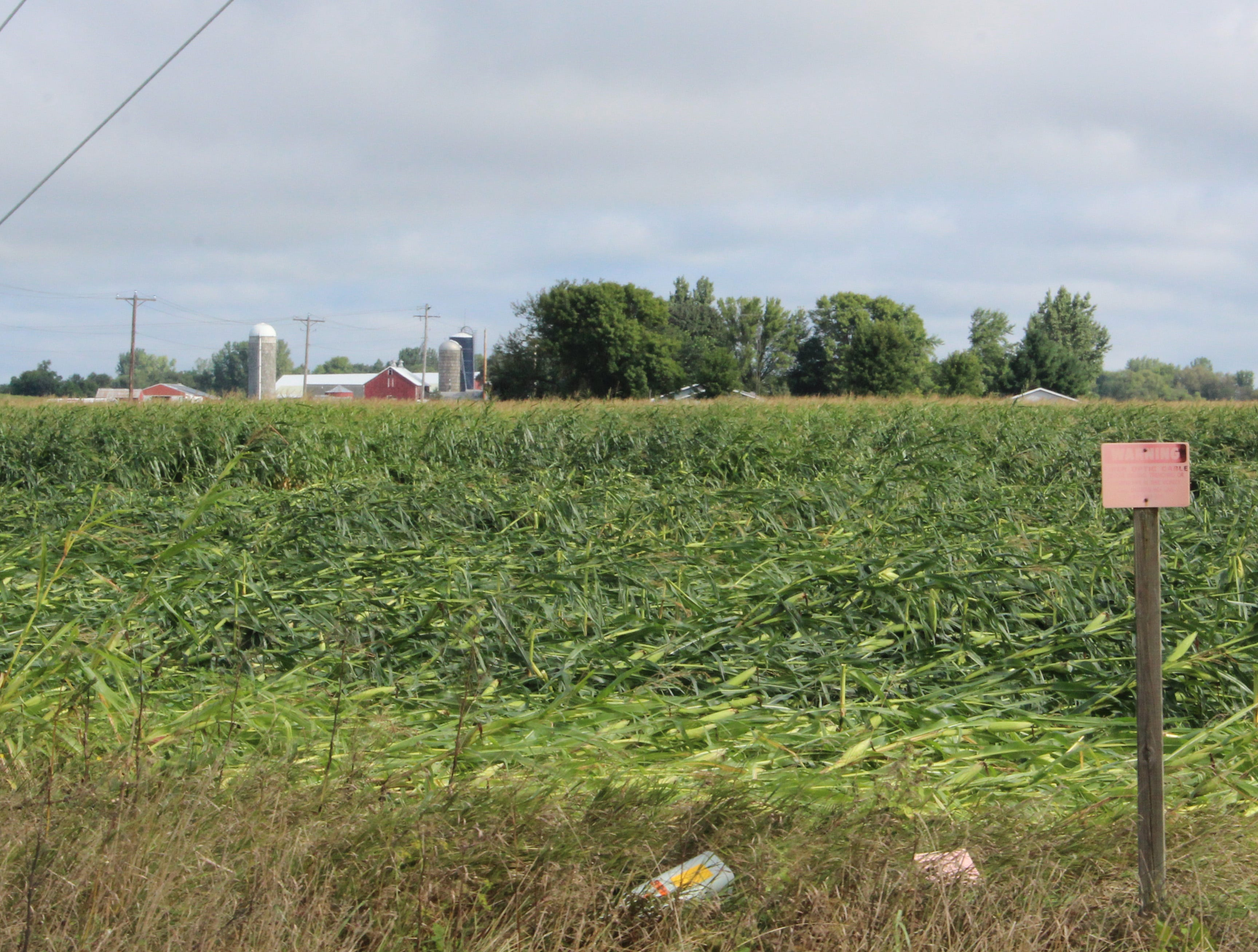 Damaging winds flattened this field of corn along Cattaraugus Road near Waupun.