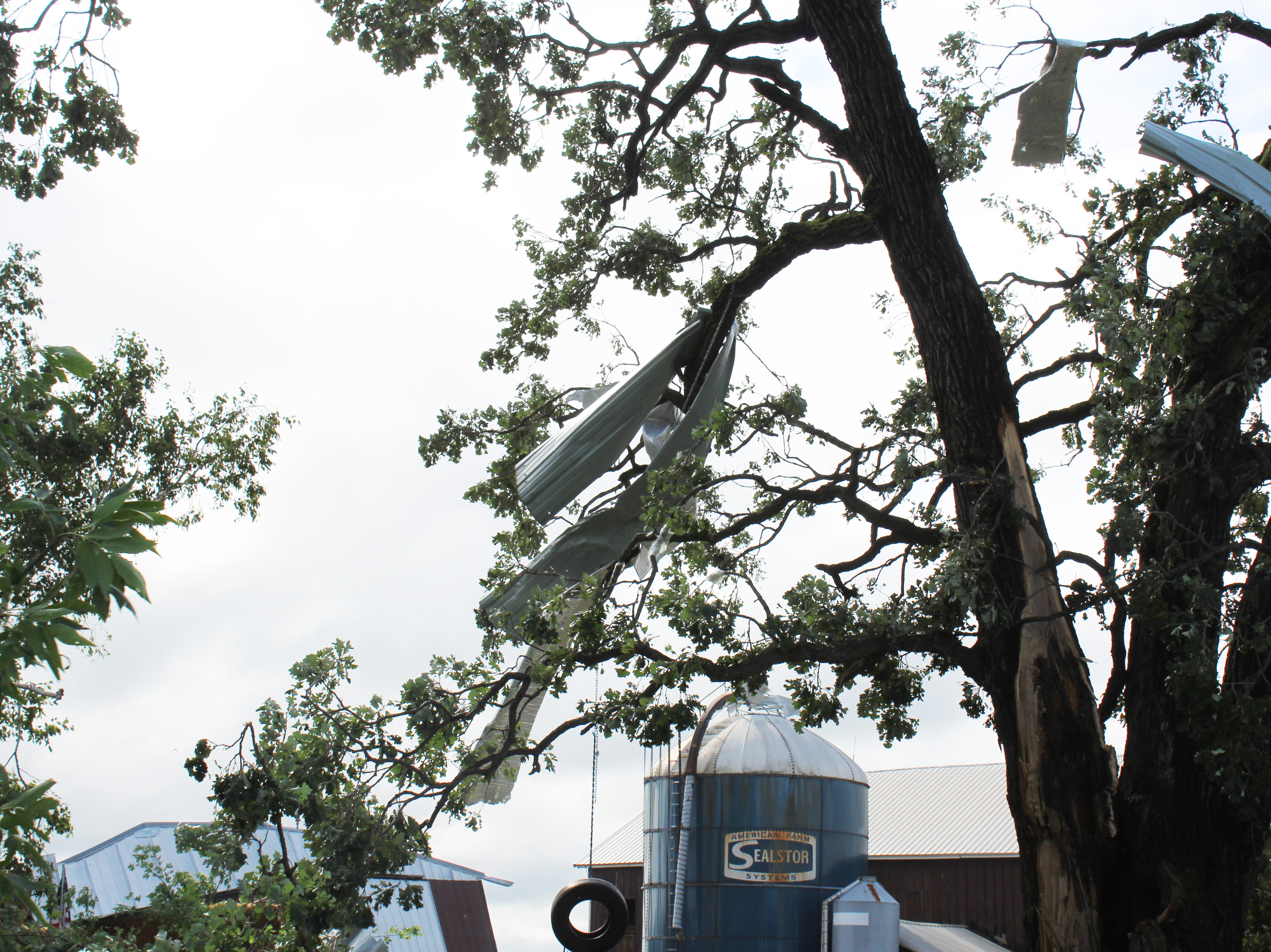 Sheet metal is twisted around tree branches at Pebble Knolls Dairy.