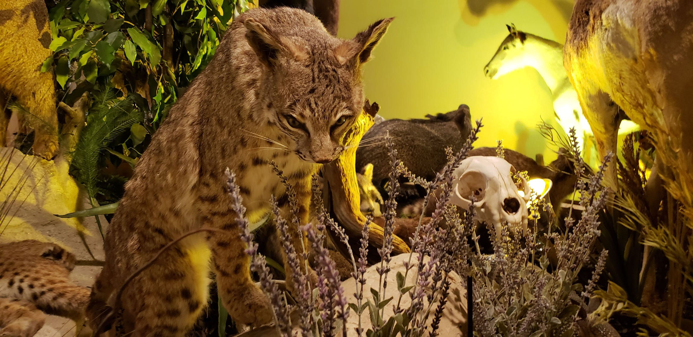 An example of some of the elaborate taxidermy and skeletal preservation in the Whiteside museum's Texas Wildlife portion.
