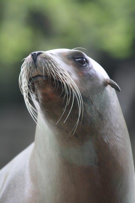 Pupper the Sea Lion