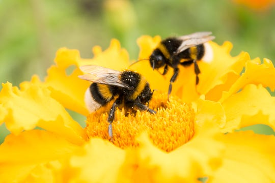 two bumblebees on a yellow flower collects pollen