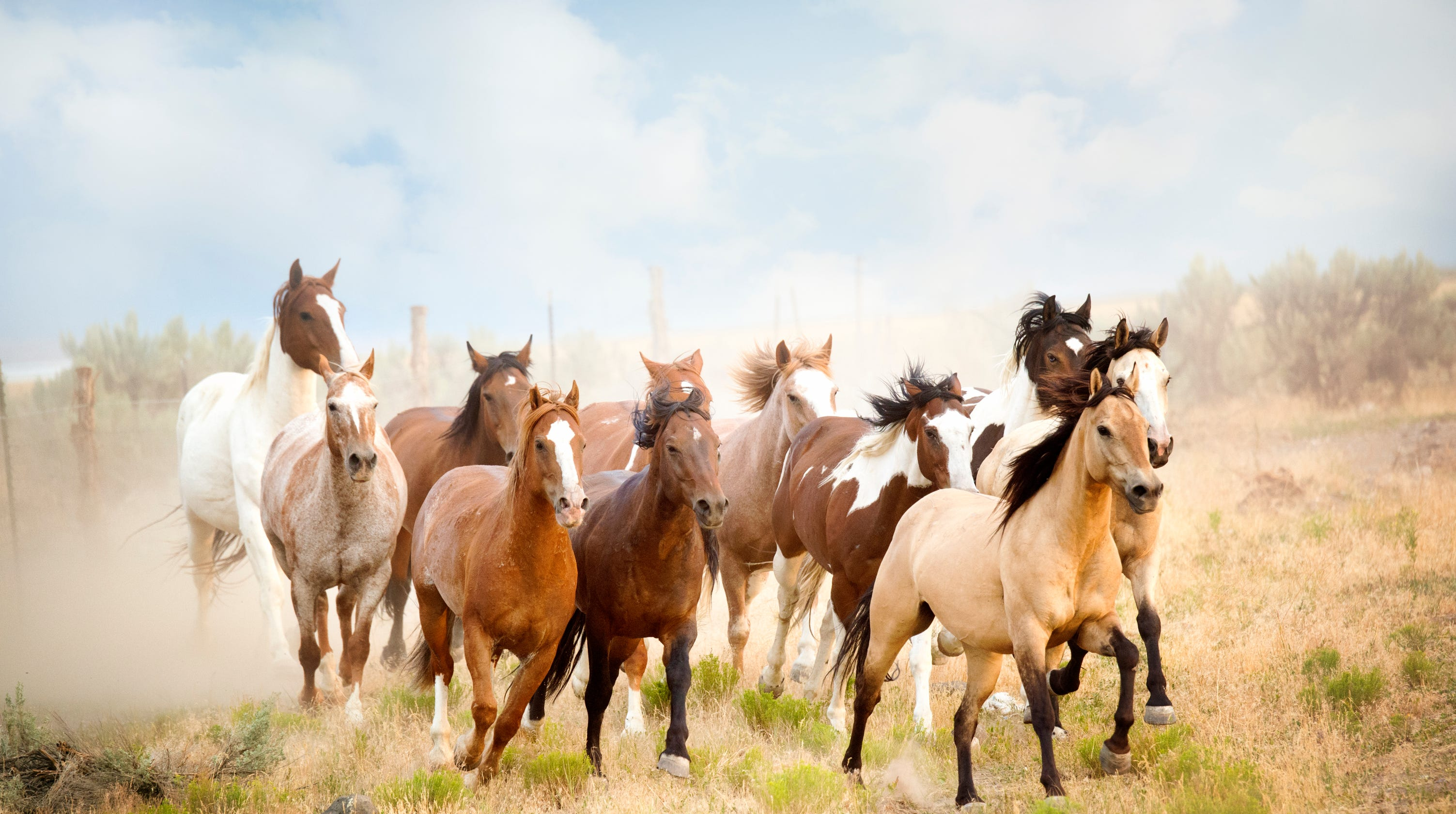 California wild horse round-up stirs slaughterhouse fears
