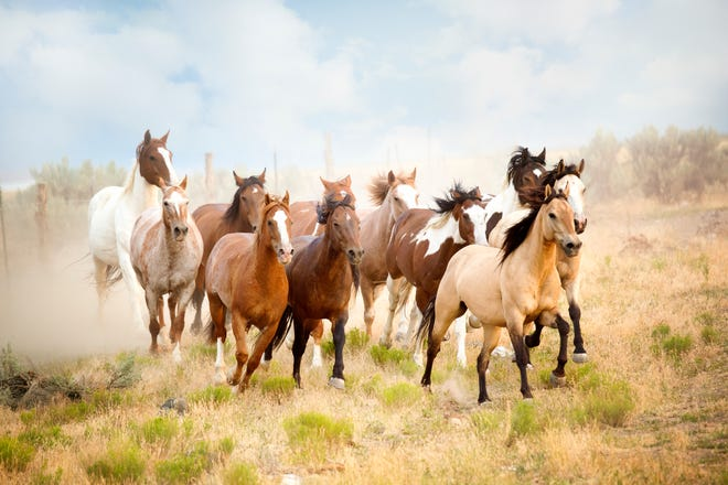 Eleven horses running together.  White, brown, painted, dapple grey and buckskin horses all in a herd running to some unknown destination.