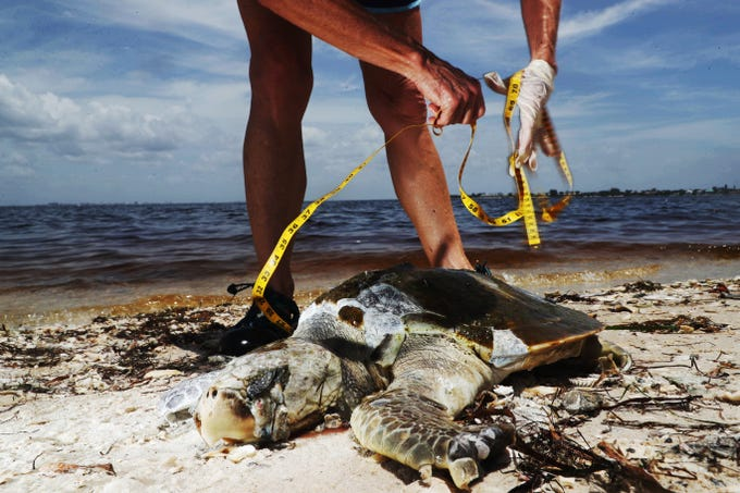 A dead Kemp's Ridley sea turtle is documented and picked up by a Sanibel Captiva Conservation Foundation stranding volunteer on the Sanibel Causeway on Thursday 8/2/2018. A suspected red tide outbreak is ravaging parts of Southwest Florida.