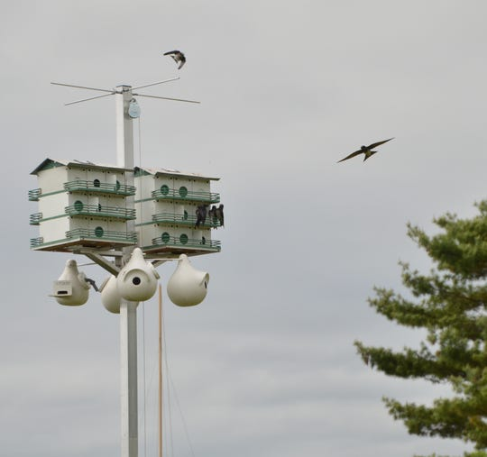 Purple martins seen at their nests at City Docks in Oconto.